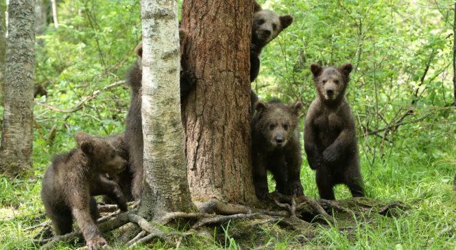 Пажетновы и медведи