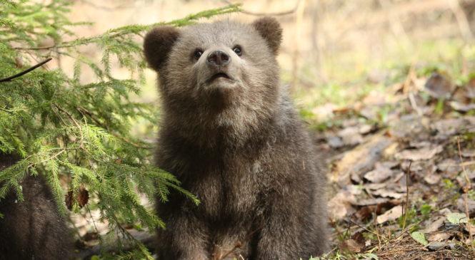 Медведь может напасть на человека из-за конфеты